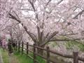 奈良・佐保川の桜並木